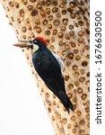 Acorn Woodpecker Stocking...