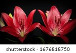 A Photograph Of Two Red Lilies...