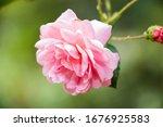 Rose Flower In Sri Lanka
