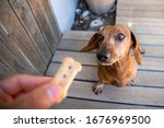 Old Dachshund Waiting For A...