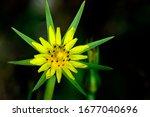 Tragopogon Dubius  Yellow...
