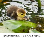 Baby Muscovy Duck Swimming On A ...