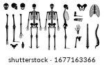 Human Man Skeleton Anatomy In...