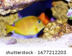 Blue  Yellow Juvenile  Atlanti...