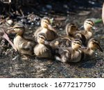 Baby Duck Chicks In A Pond