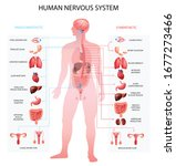 Human Nervous System...