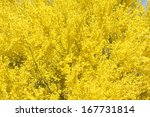 bright yellow flowers of a... | Shutterstock . vector #167731814