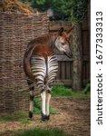 Okapi Or Zebra Giraffe Back...