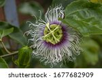 Detailed View Of Passion Fruit...