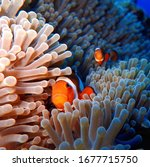 Clown Fishes With They Home
