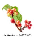 red coffee beans on a branch of ... | Shutterstock . vector #167776883