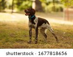 Hunting Dog Breed Epagneul...