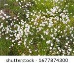 Eriophorum Angustifolium Or...