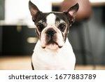A Beautiful Boston Terrier Dog...
