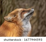 Red Fox Portraits In The...