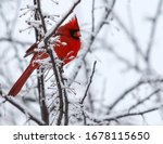 A Red Male Cardinal In A Snow...