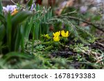 Yellow Spring Flowers On The...