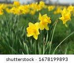 Yellow Daffodils Flower Field...