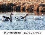 Four Geese Walking On A Lake