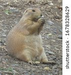 Cute Prairie Dog  Genus Cynomys ...