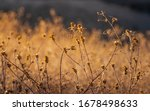 Dry Weeds In Gold Sunset Light