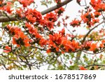 Blooming Bombax Ceiba Or  Red...