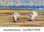 Adult And Juvenile White Rhinos ...