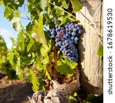 Small photo of Close-up of bunches of ripe red wine grapes on vile.