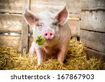 Pig On Hay And Straw With Green ...