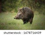 Wild Boar  Sus Scrofa Wild Boar ...