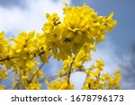 Blossoming Forsythia In The...