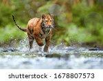Young siberian tiger  panthera...