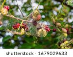 Mulberry Berries In A Web Of...