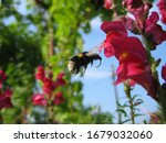 Motion Blur Of Bumblebee In...