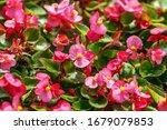 Pink Wax Begonia  Fiborous...