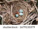 Small photo of Little Canada, Minnesota. Red-winged Blackbird, Agelaius phoeniceus. Nest with three eggs and a one day old hatchling begging for food.