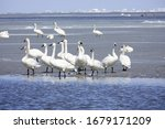 Trumpeter swans, Cygnus buccinator hanging out at Lake Winnebago in Wisconsin on the melting ice.