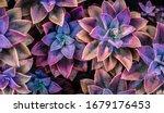A Group Of Purple Echeveria...