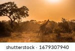 Giraffe Walking In Backlit At...
