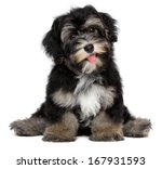 Stock photo a beautiful smiling black and tan havanese puppy dog is sitting isolated on white background 167931593