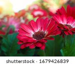 Bouquet Of Red Gerberas With...