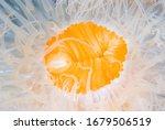 Frilled Anemone Metridium...