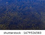 Seaweed In The Pond. Suitable...
