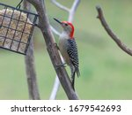 Red Bellied Woodpecker   Close...