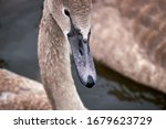 White Swan Chicks.portrait Of A ...