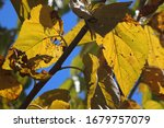Yellow Leaves On A Mulberry Tree