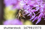 Purple Garlic Flowers With Bees