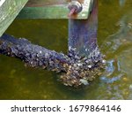 Barnacles On A Pier Post