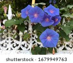Morning Glory Flower In The...
