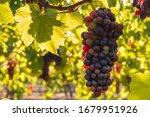 Bunch Of Backlit Merlot Grapes...
